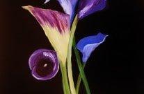 Luscious Lillies
